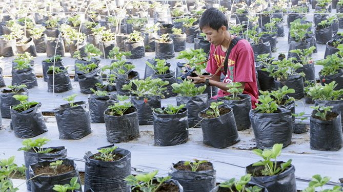 Aktivitas memetik Stroberi di lahan milik Agrowisata Amanah Karanganyar
