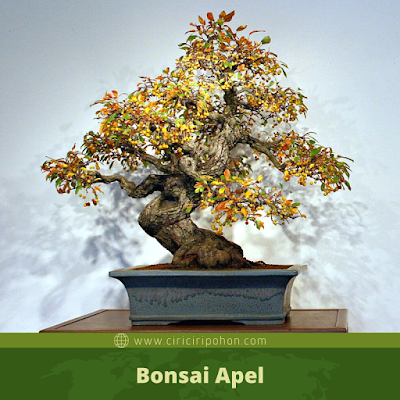 Bonsai Apel
