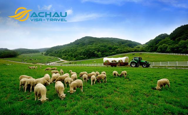 Khám phá trang trại cừu đẹp nhất Gangwon, Hàn Quốc1