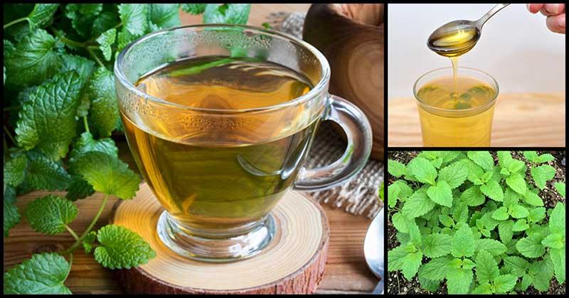 Lemon Balm Tea For Good Health