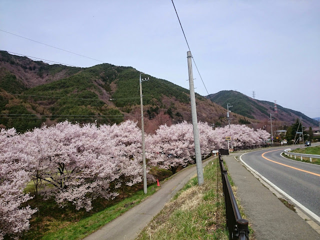 下諏訪辰野線 桜