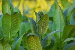 Cara menanam tembakau di dataran tinggi
