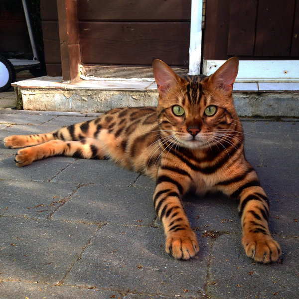 Have You Seen A Cat That Looks Like A Mini Leopard? | The ...Orange And White Bengal Cat