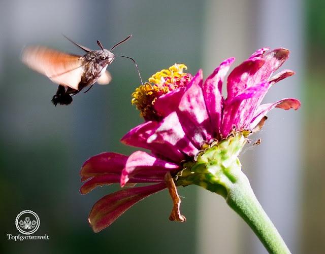 Herbstgarten - welche Pflanzen muss man setzen um Insekten anzulocken - Gartenblog Topfgartenwelt