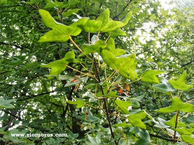ARCE DE MONTPELLIER: Acer monspessulanum