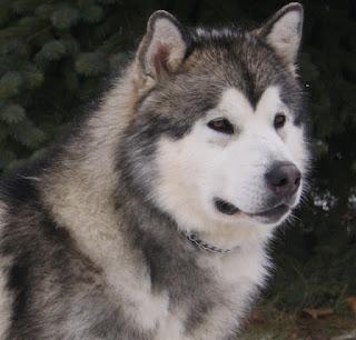 wajah Anjing Ras Alaskan Malamute