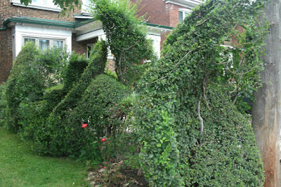 Freeform hedge by garden muses-not another Toronto gardening blog