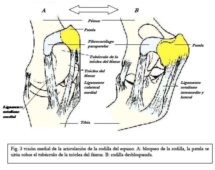 Anatomía veterinaria: Aparato Estático Pasivo (AEP) del EQUINO