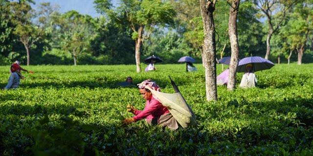 Free work to help tea firms hit by lockdown