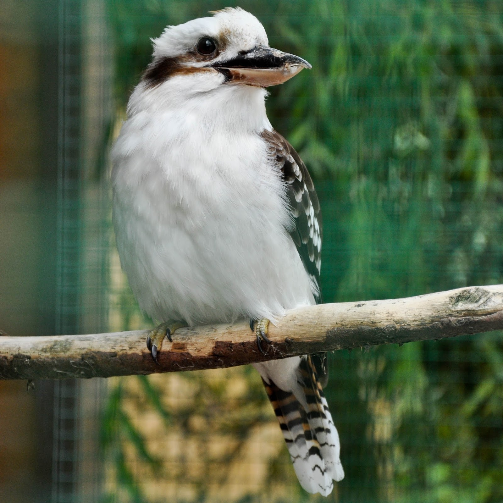 Kookaburra, Monkey Haven, Isle of Wight, UK