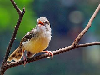 Tips Agar Burung Prenjak Berkicau Sepanjang Hari Tips Agar Burung Prenjak Berkicau Sepanjang Hari