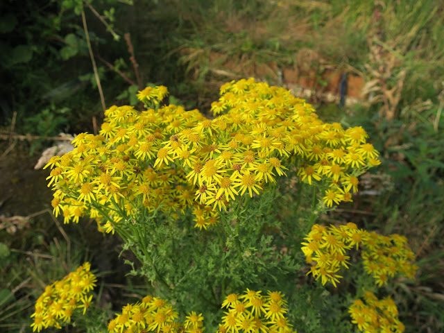 Ragwort is one of the most beautiful plants ever, yet it has to go!