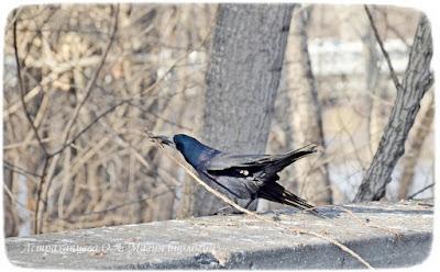 птица грач, птица строит гнездо, грач с веткой, клюв, черный, весна