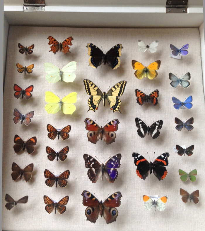 box of mounted butterflies