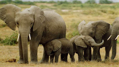 Bengal seeks to capture wild elephants, not kill them