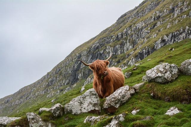 paysage écossais avec roches, herbes et animal