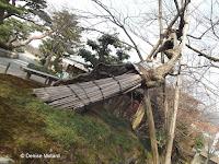Hollow trunk heavily supported - Kenroku-en Garden, Kanazawa, Japan
