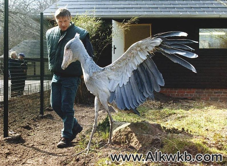 Shoebill-Stork
