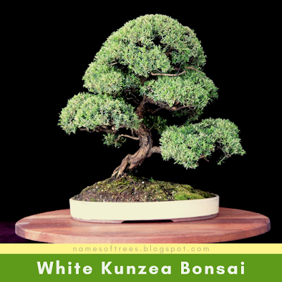 White Kunzea Bonsai