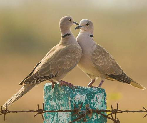 Photo of Eurasian collared dove - Streptopelia decaocto