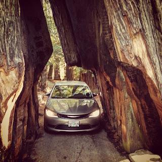 Driving through a redwood