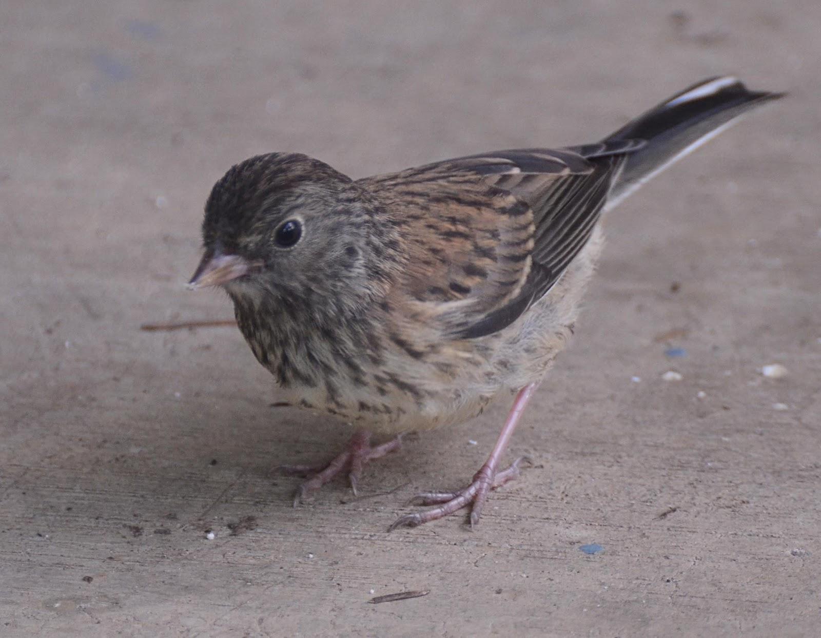Oregon Backyard Birds, etc.: More Summer Birds