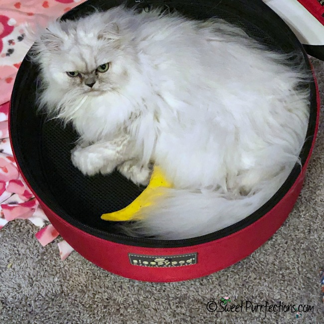 silver shaded Persian cat inside Sleepypod