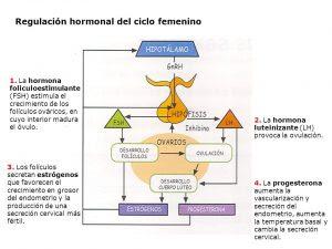 Ayuno Intermitente En Mujeres Posibles Cambios Hormonales Ciclo Menstrual