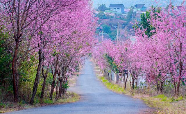 Các con đường ngắm hoa mai anh đào đẹp ở Đà Lạt