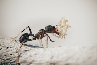 The effort of cultivating Japanese ants