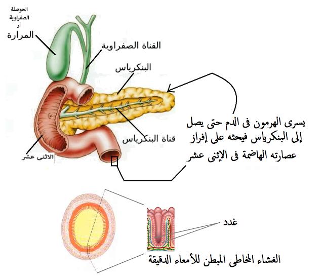 هرمون السكيرتين + هرمون الكوليسيستوكينين غشاء الأمعاء الدقيقة