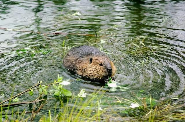 delta beavers  in Cordova, Alaska