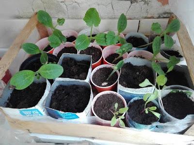 Zucchine e bietole in semenzaio.
