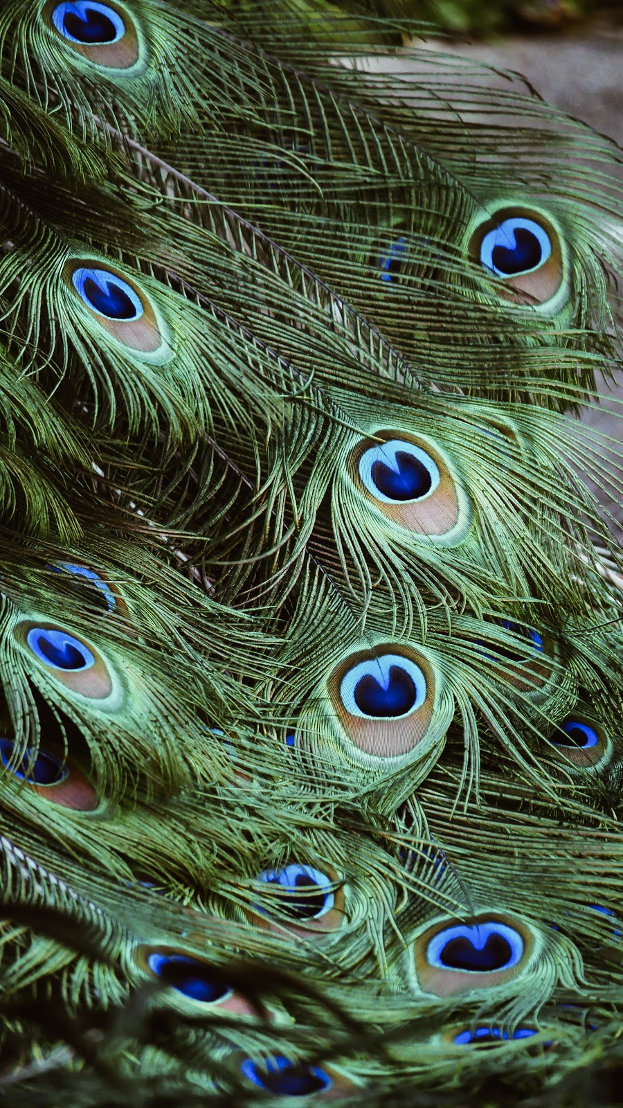 closeup-photography-of-green-gray-and-blue-Peacock-feathers-pictures