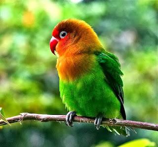 kegemukan pada lovebird