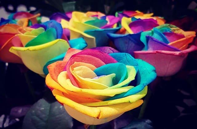 bunga mawar pelangi