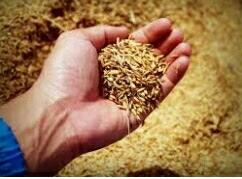 Dinas Pertanian Mamuju Tengah Tolak Bantuan Bibit dari Kementan, Petani Ngeluh dan Kecewa