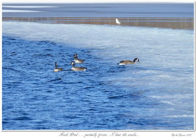 Fresh Pond: ... partially frozen... I hear the cracks...