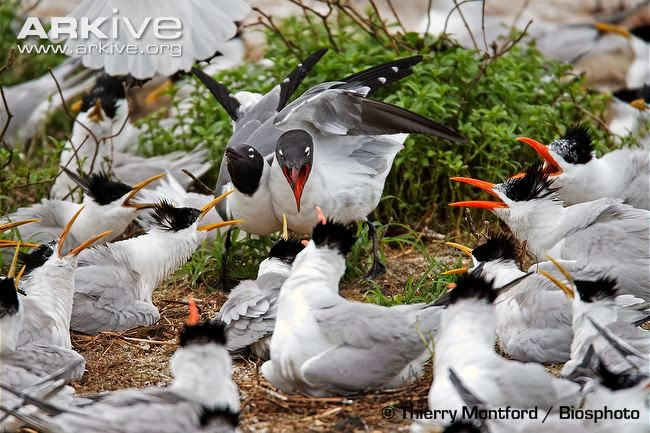 interactions between marine birds Royal tern