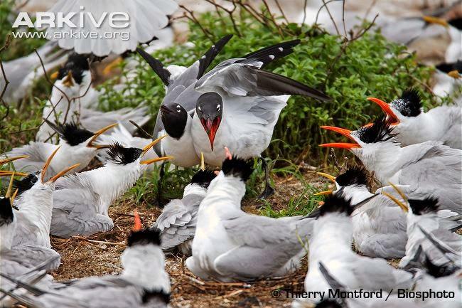 interactions between marine birds Royal tern