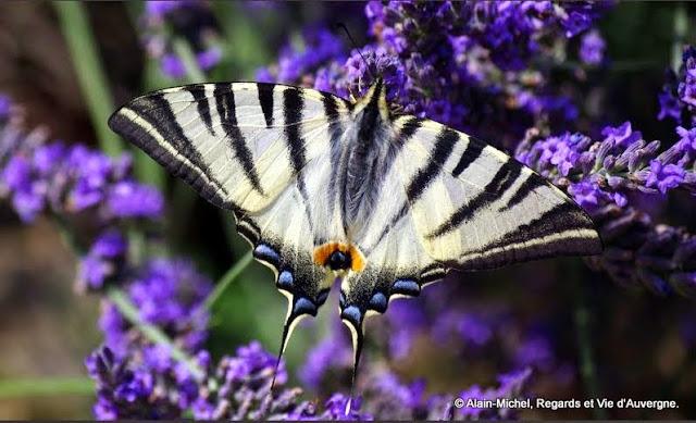 Papillon : le Flambé.