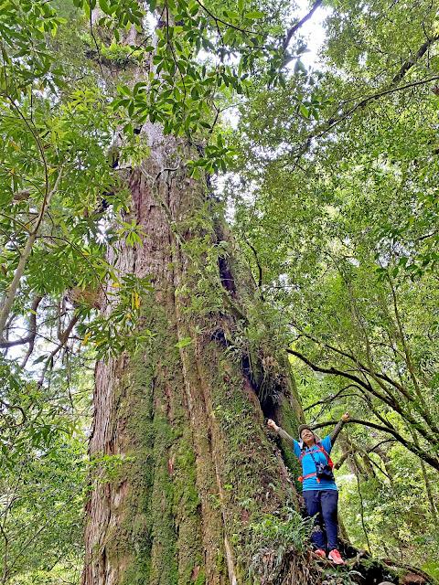 13號巨木