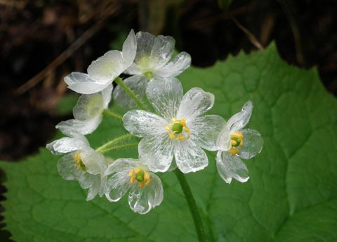 Tracey annes blog unusual flower diphylleia grayi skeleton flower is much more descriptive when it rains the otherwise pure white flowers of diphylleia grayi turn spectacularly translucent mightylinksfo