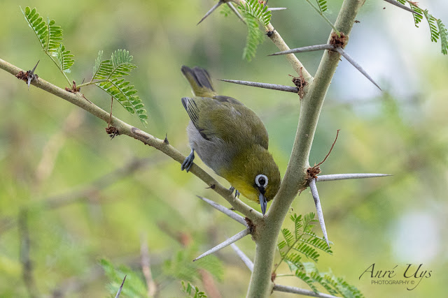 Cape White -Eye