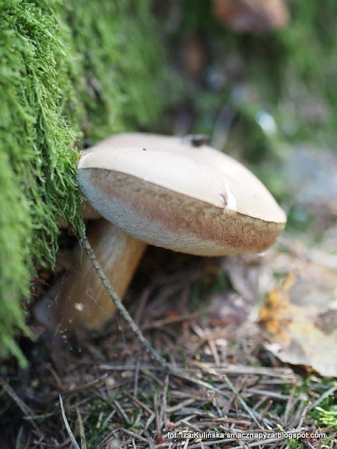 goryczak żółciowy, grzyby podlasia, jesienne grzybobranie, podlasie 2016, urlop w lesie, na grzyby, grzyby gatunkami, puszcza białowieska