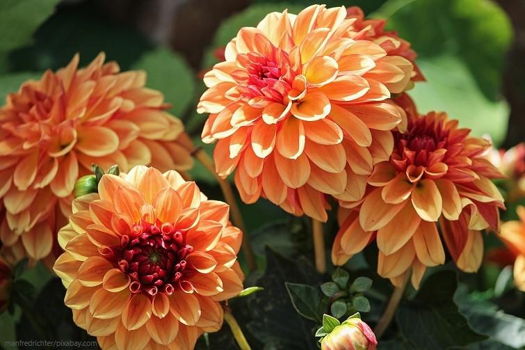Dahlien in Orange