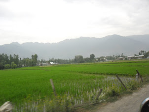 Lush green rice fields in Srinagar.