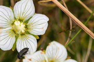 [Celastraceae] Parnassia palustris - Marsh Grass of Parnassus (Parnassia delle paludi)