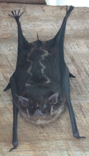 Saccopteryx bilineata, Greater Sac-winged Bat