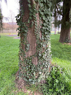 Parco Sant'Agostino Ivy Removal from Tree - Before